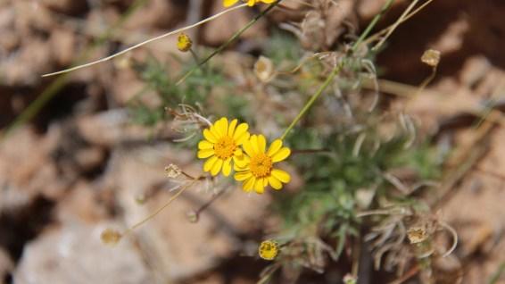 Fiveneedle Pricklyleaf - Thymophylla Pentachaeta
