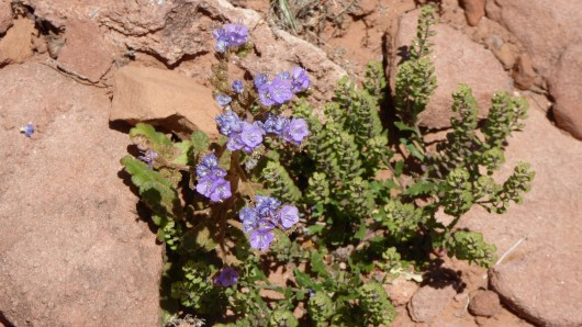 Scorpion Weed - Phacelia