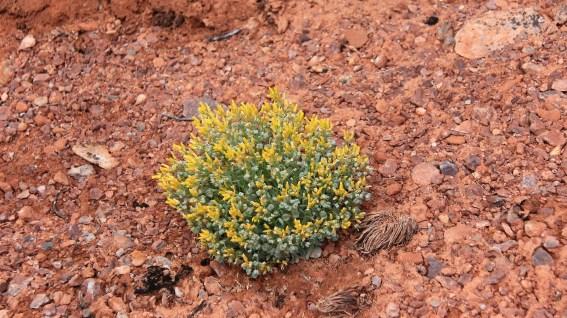 Dudley Bluffs Bladderpod - Physaria Congesta