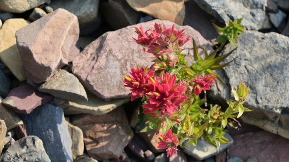 Indian Paintbrush - Castilleja Miniata
