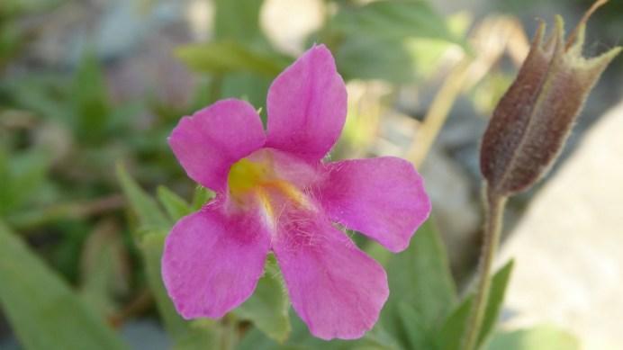 Lewis' Monkeyflower - Mimulus Lewisii