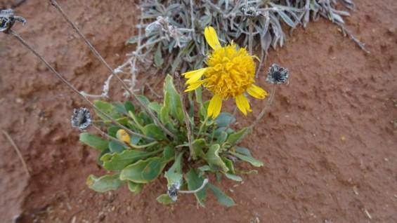 Basin Daisy - Platyschkuhria Integrifolia