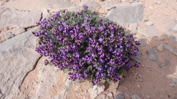 Mancos Milkvetch - Astragalus Humillimus