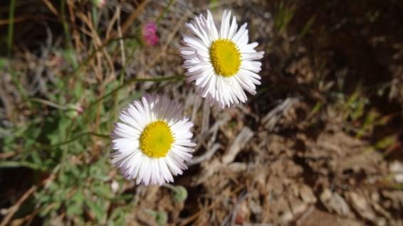 Daisy Fleabane - Erigeron Philadelphicus