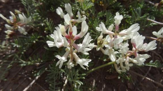 Silky Locoweed - Oxytropis Sericea