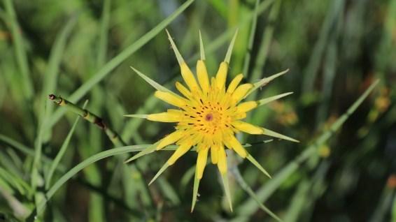 Western Salsify - Asteraceae Tragopogon Dubius