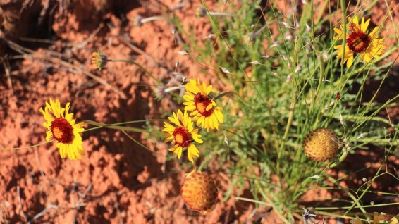 Red Dome Blanket Flower - Gaillardia Pinnatifida