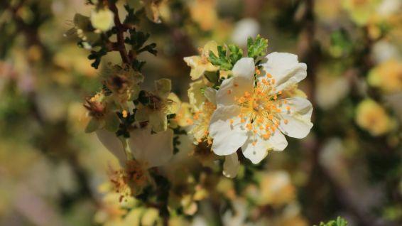 Cliffrose - Purshia Stansburiana
