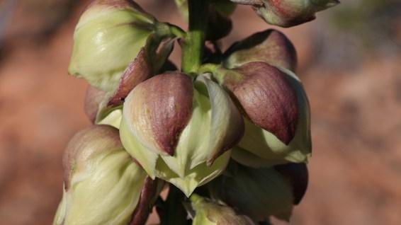 Yucca Utahensis