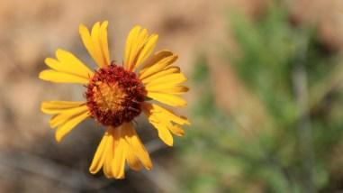 Red Dome Blanket Flower - Gaillardia Pinnatifida
