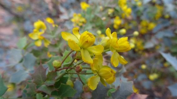 Grape - Mahonia Aquifolium