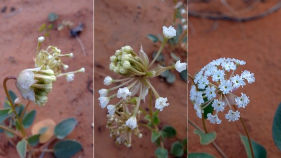 Mojave Sand Verbena - Abronia Pogonantha