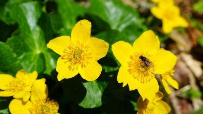 Populage des Marais - Caltha Palustris