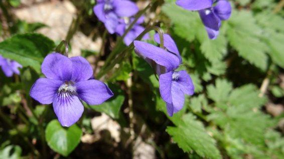 Violette Sauvage - Viola Sylvestris