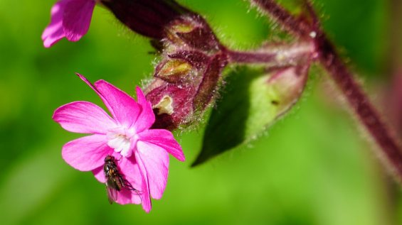Compagnon Rouge - Silene Dioica
