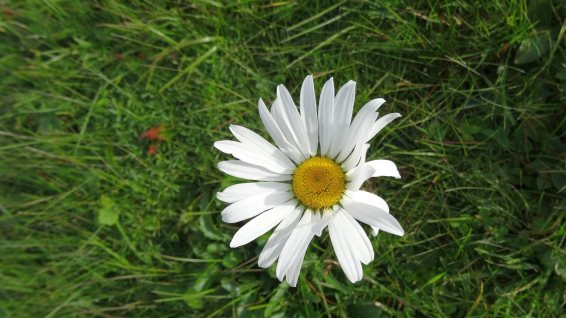 Marguerite Commune - Leucanthemum Vulgare