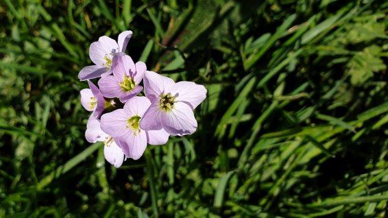 Cardamine des Prés – Cardamine Pratensis