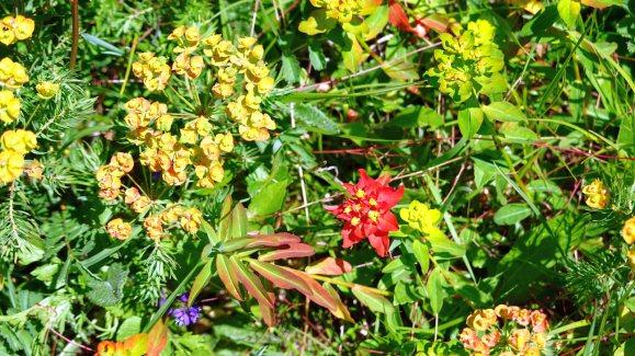 Euphorbe Verruqueuse - Euphorbia Flavicoma