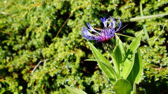 Centaurée de Montagne - Cyanus Montanus