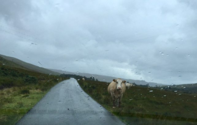 "Sometimes we were sharing the roads with animals like this guy. ""Uk vs US: Road Trip Comparison"" - Two Traveling Texans"