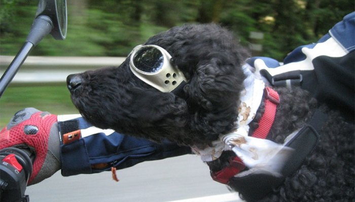 Tips For Motorcycle Riding With Your Dog
