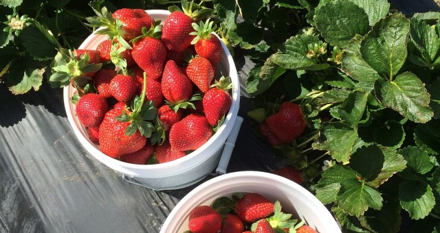 Strawberries in two buckets
