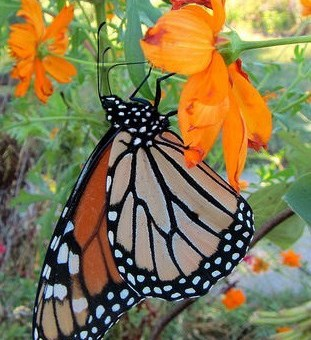 A butterfly pollinates an orange flower.