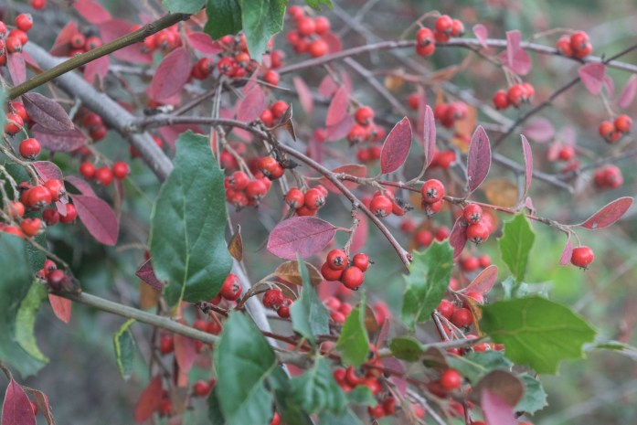 Winterberries | FishwifeWrites