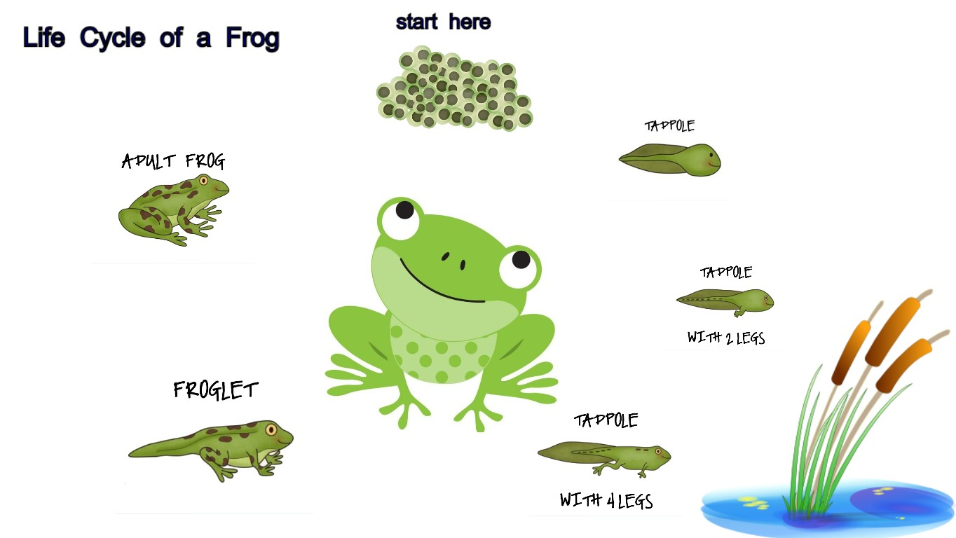 Life Cycles Project Frogs