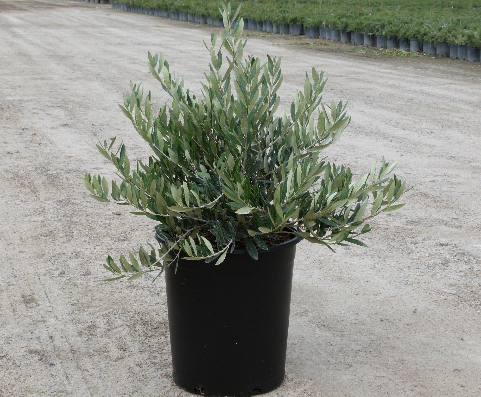 How To Use Compact Evergreen Shrubs T Y Nursery