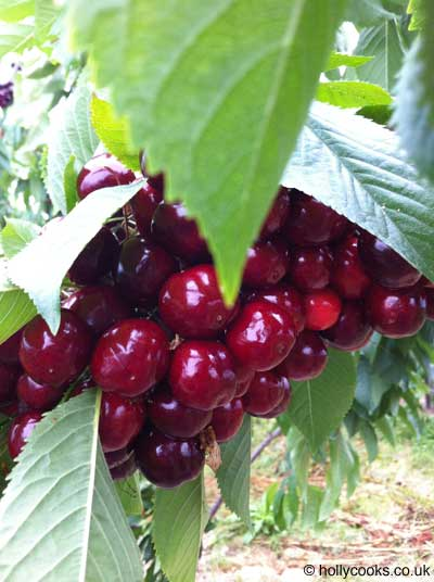 Holly-cooks-cherry-and-pecan-clafoutis-recipe-cherries-on-branch