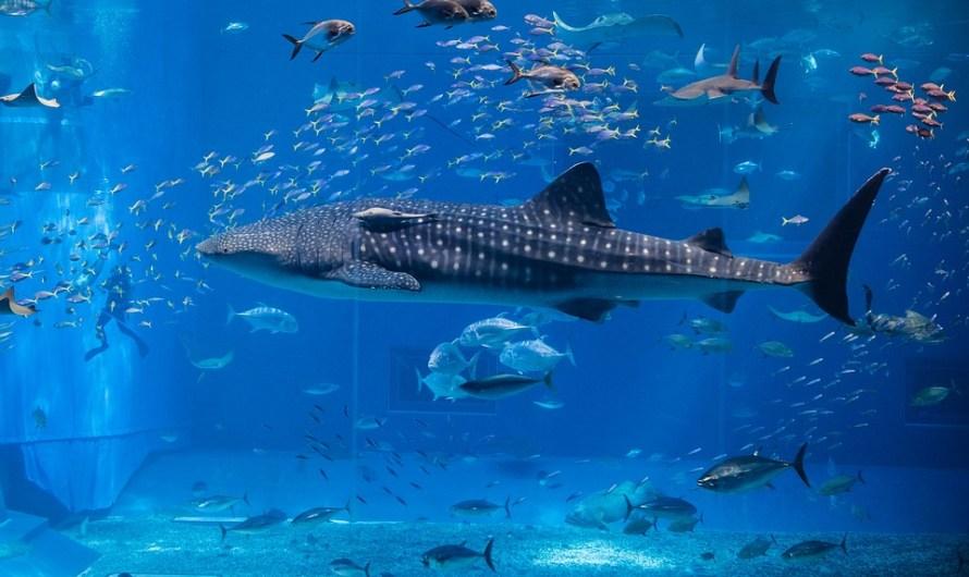 انواع السمك في المغرب : سمك الكوربين الفار الشرن الكوكروج الدرعي الصنور