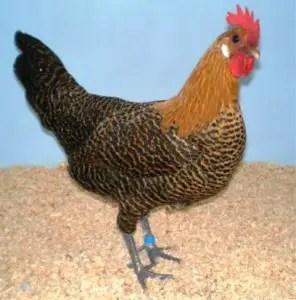 Campine Chicken