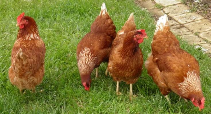 types of chicken