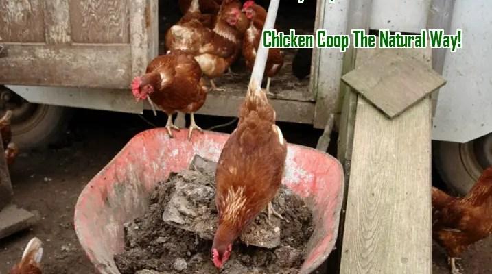 Clealning your chicken coop