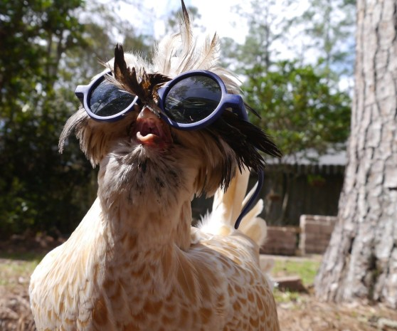 Chickens in summer