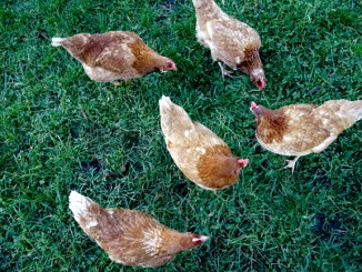 Feeding chickens What to feed chickens in the winter What do chickens eat
