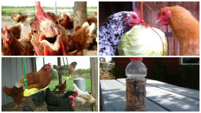 How to keep your chickens entertained featured