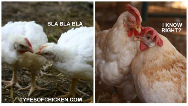 The Language of Chickens & How do they talk to each other!