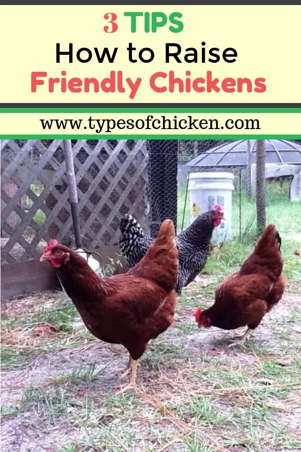 raise friendly chickens