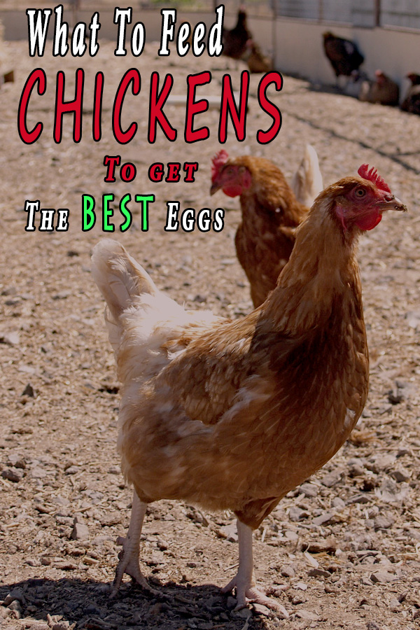 What To Feed Chickens To Get The Best Eggs