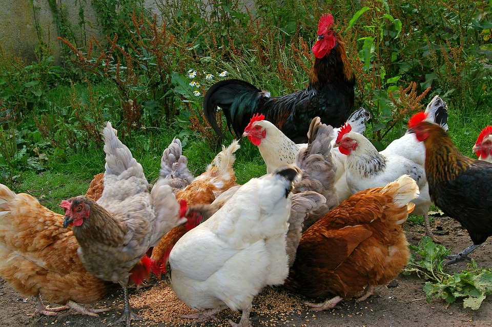 What to feed chickens to get the best eggs?