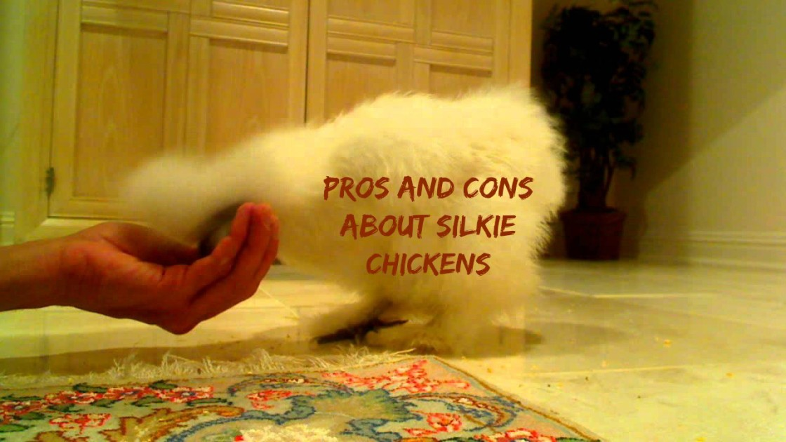 PROS & CONS of Keeping Silkie Chickens!