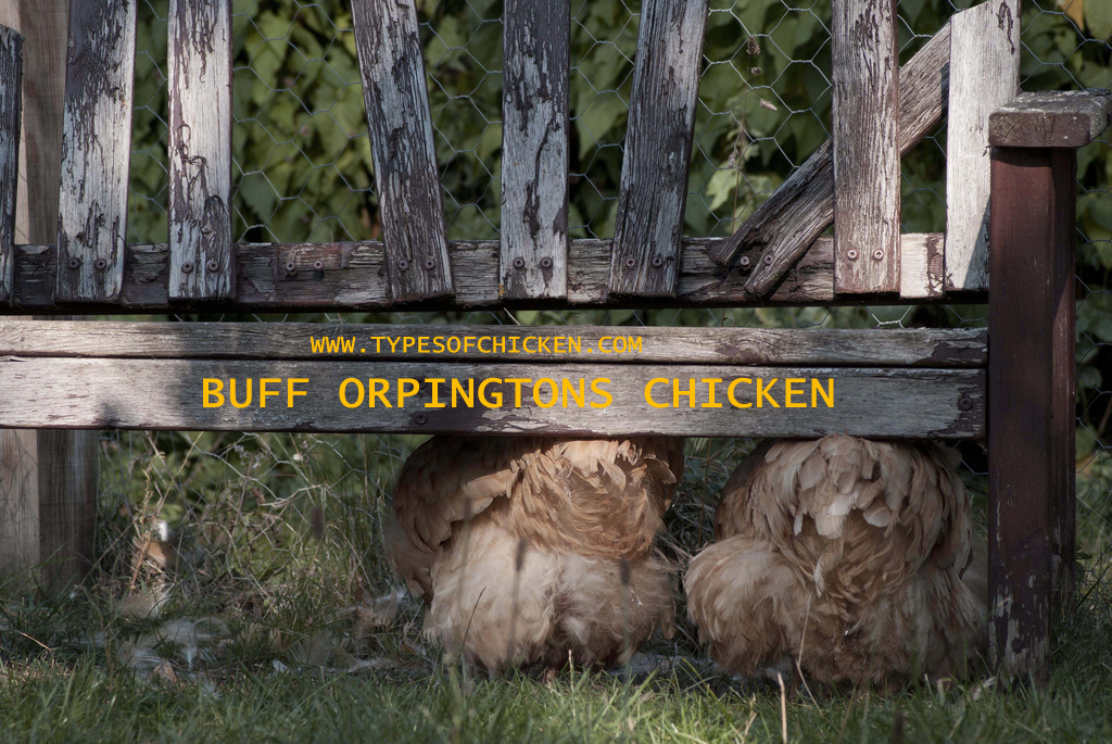 PROS & CONS of Keeping Buff Orpington Chickens!