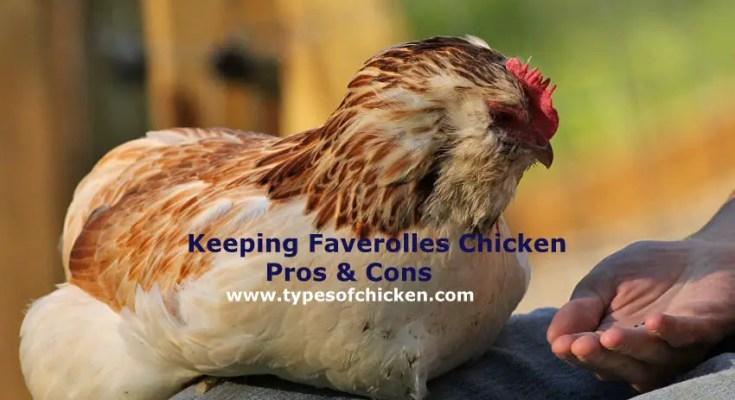 Faverolles Chicken