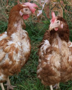 Why Chickens Lose Feathers