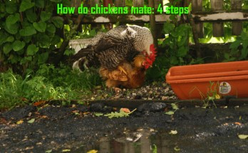 how do chickens mate