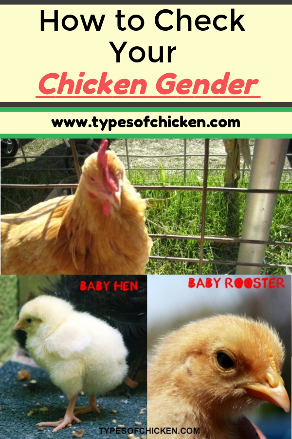 How to Check Your Chicken Gender + 5 Tips!