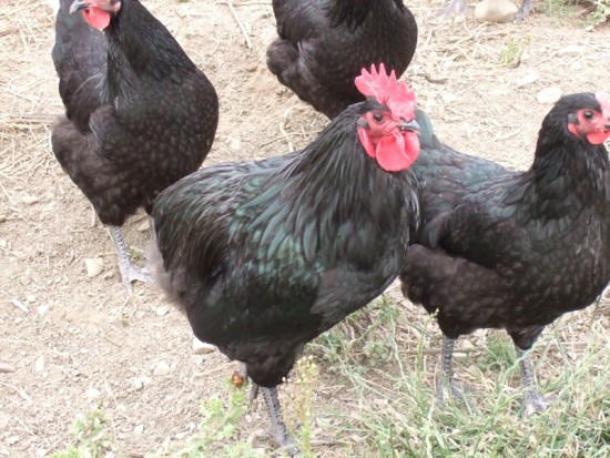 Keeping Australorp Chickens