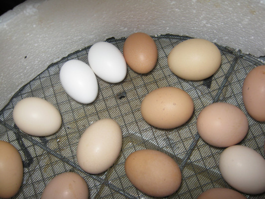 Natural Or Artificial Incubation